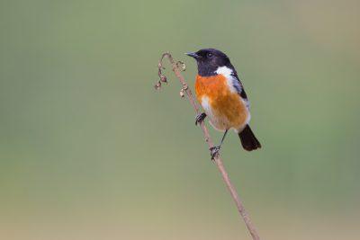 Common Stonechat, birds of India, Indian wildlife