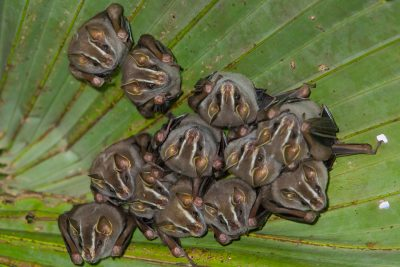 Common Tent-making Bats, Costa Rica animals, stock images