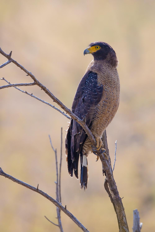 Crested Serpent Eagle, birds of prey, India. wildlife