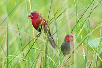 Crimson Finch, Australian birds, wildlife