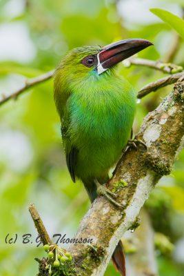 Crimson-rumped Toucanet, Ecuador birds, nature images