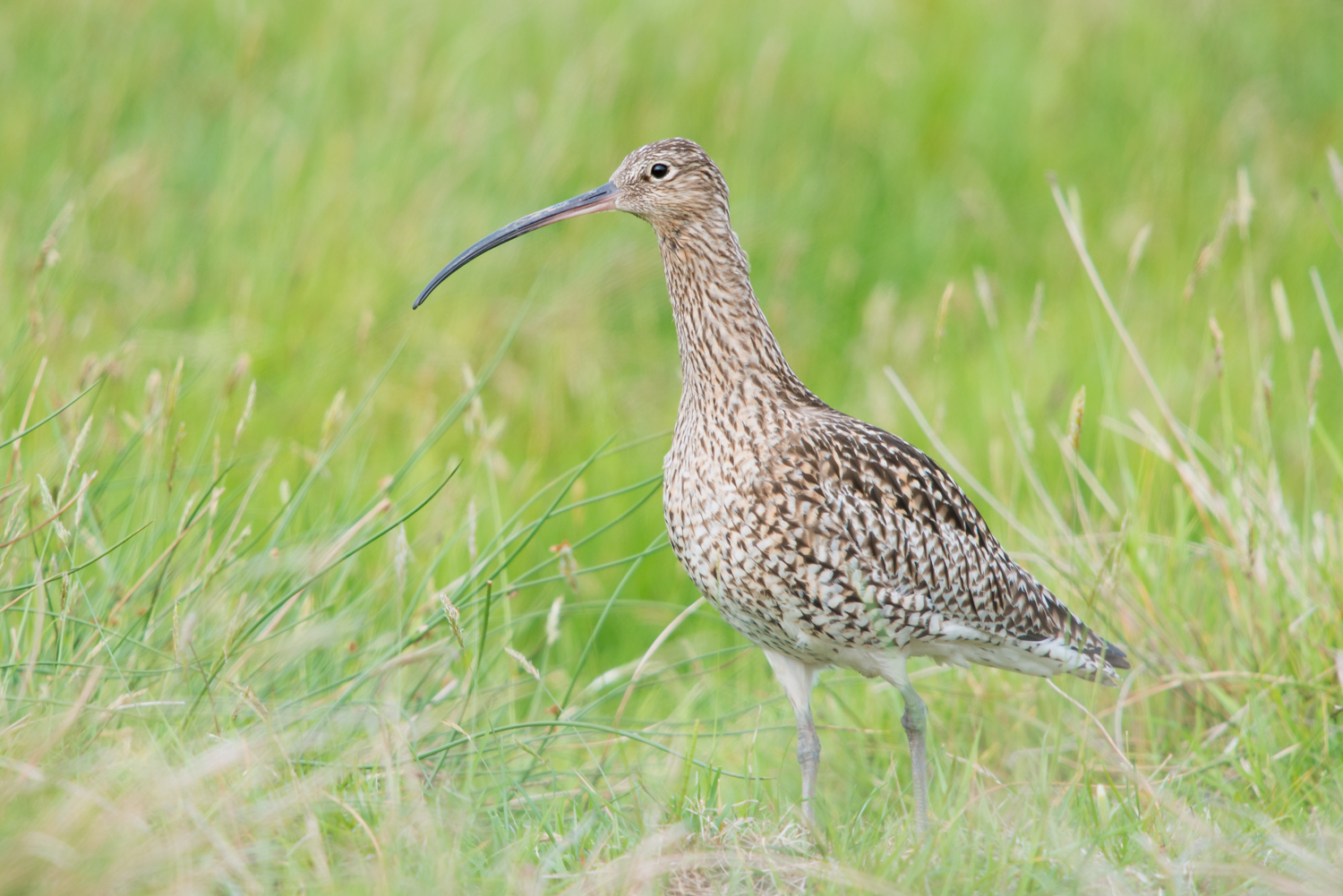 Curlew, British bird calls, wildlife