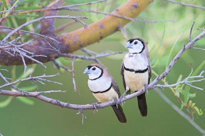 Double-bar Finches, Australian birds, wildlife