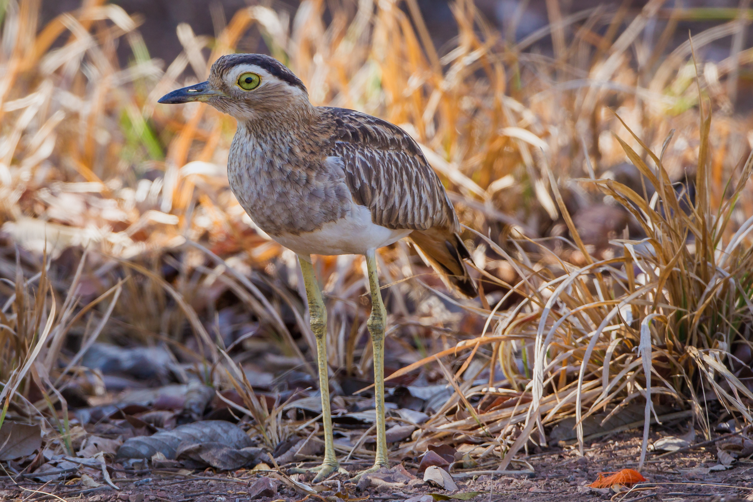 Double-striped Thick-Knee, Costa Rica birds, wildlife, stock images