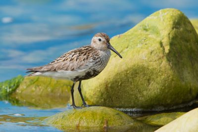 Dunlin, British waders, birds, wildlife