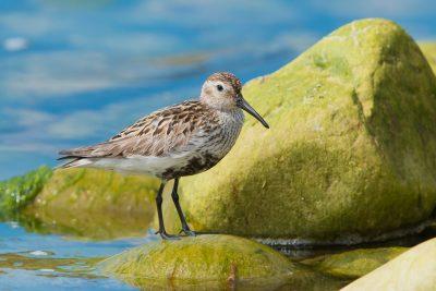 Dunlin, British waders, birds, wildlife