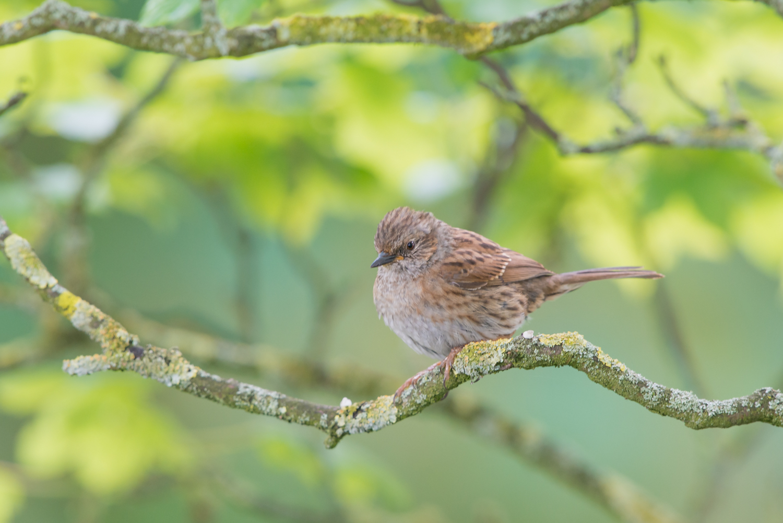 Dunnock, UK birds, wildlife