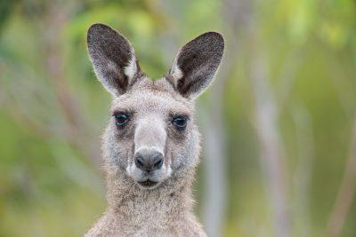 Eastern Grey Kangaroo, Australian wildlife, animals, macropods