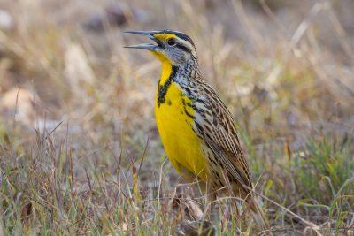 Eastern Meadowlark, Costa Rica birds, wildlife, stock images