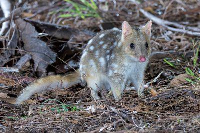 Eastern Quoll, Australian wildlife, Tasmania, threatened species