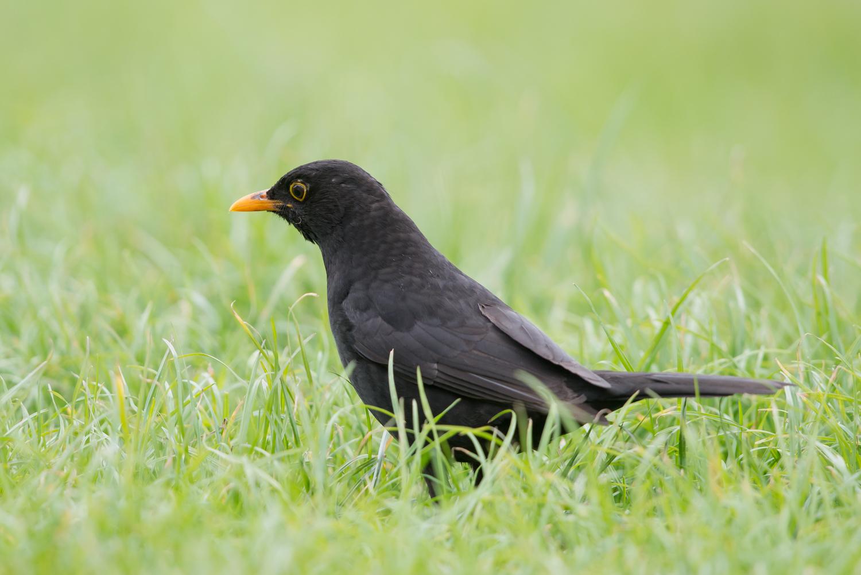 European Blackbird, UK birds, wildlife