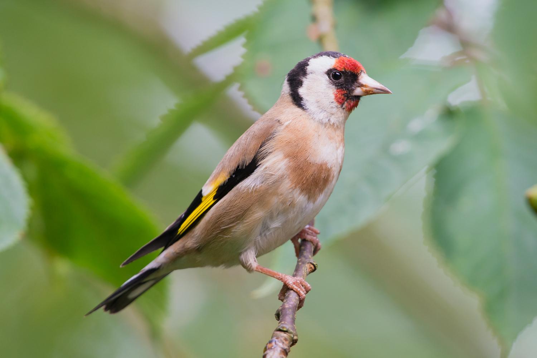European Goldfinch, British birds, wildlife