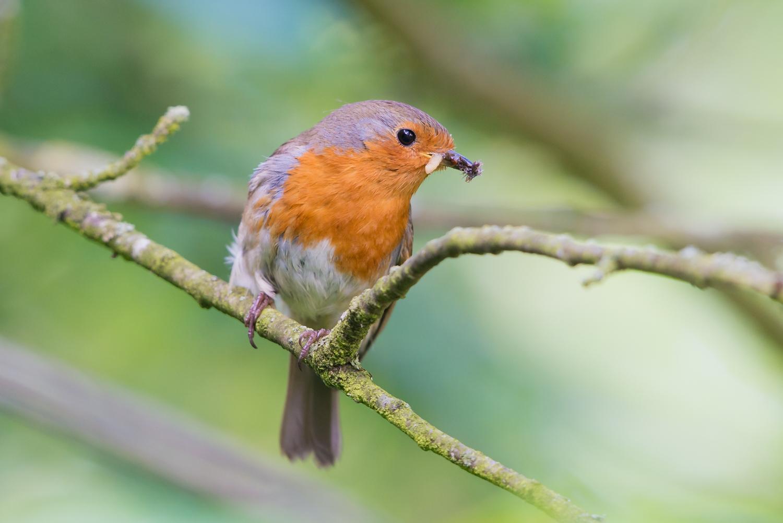 European Robin, British birds, wildlife