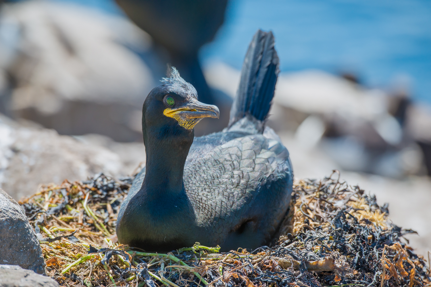 European Shag, British birds, wildlife, seabirds