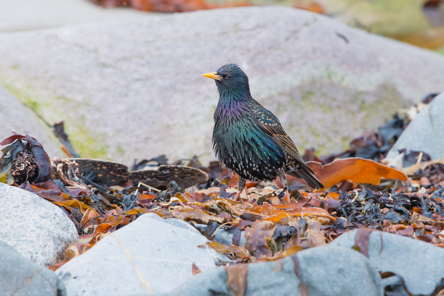 European Starling, British Birds, wildlife