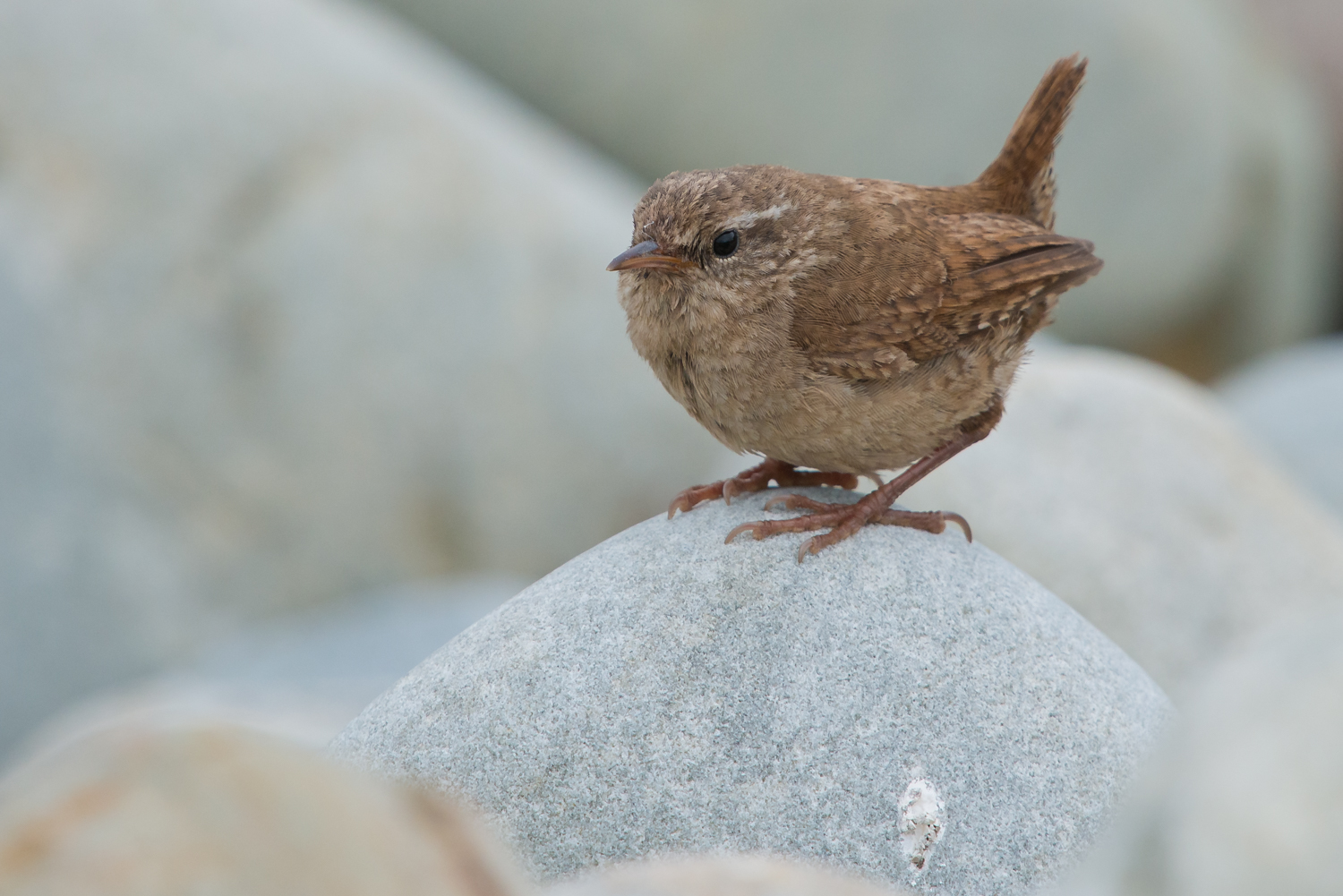 Fair Isle Wren, British Birds, wildlife