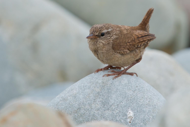 Fair Isle Wren, British Birds, wildlife