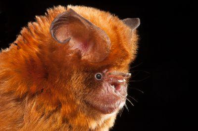 Fawn Leaf-nosed Bat, Australian bats, wildlife, animals