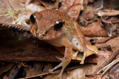 Fitzinger's Rain Frog, Costa Rica wildlife, stock images