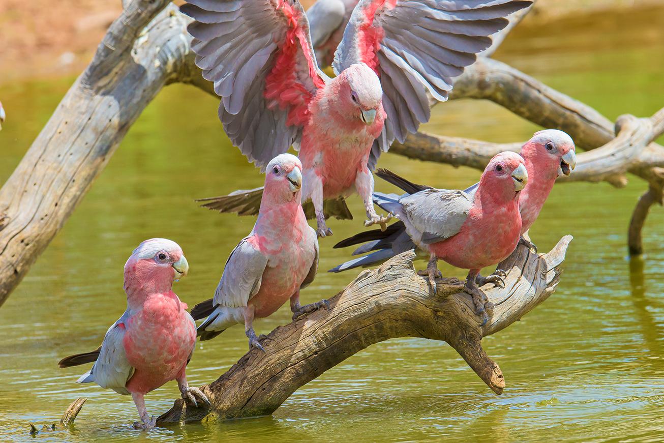 Galahs, Australian birds, wildlife