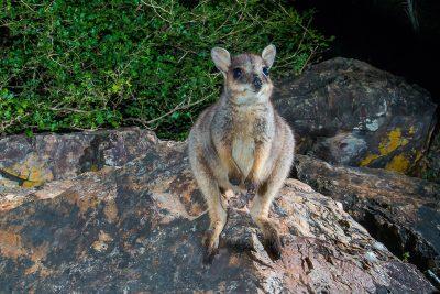 Godman's Rock Wallaby, Australian kangaroos, wallabies, wildlife