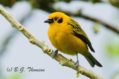 Golden Tanager, Ecuador wildlife, nature images