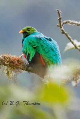 Golden-headed Quetzal, Ecuador birds, nature images, wildlife
