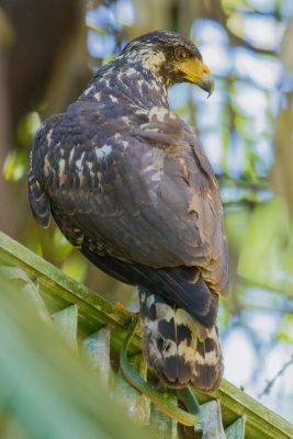 Great Black Hawk, Costa Rica birds, stock images, wildlife