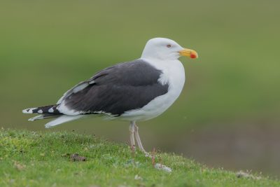 Great Black-backed Gull, British birds, wildlife, Fair Isle