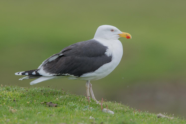 Great Black-backed Gull, British birds, wildlife, Fair Isle