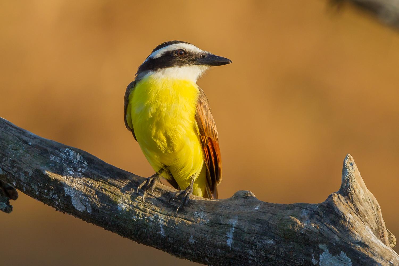 Great Kiskadee, Costa Rica birds, stock images, wildlife