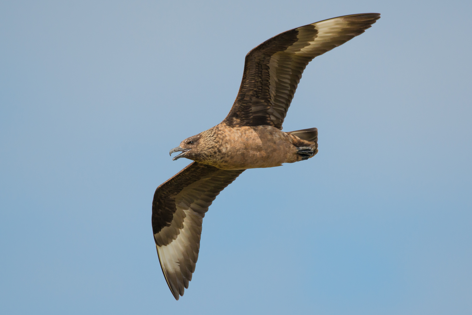 Great Skua, Fair Isle, UK, wildlife