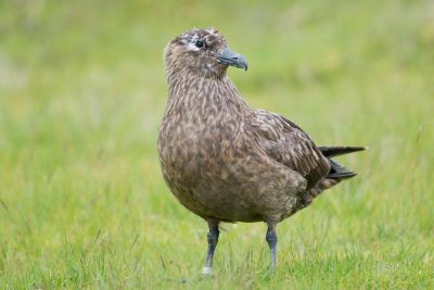 Great Skua, British birds, wildlife, Fair Isle