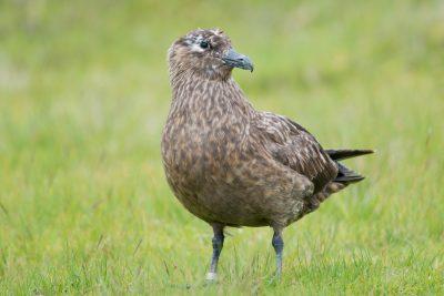 Great Skua, British birds, wildlife, Fair Isle