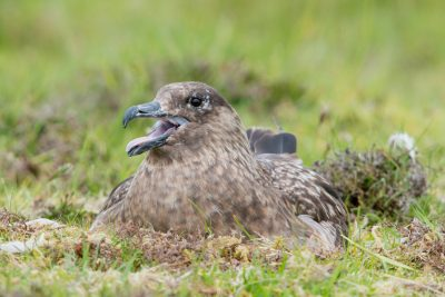 Great Skua nesting, Fair Isle, UK, wildlife
