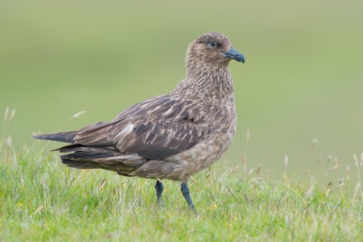 Great Skua, Fair Isle, UK birds