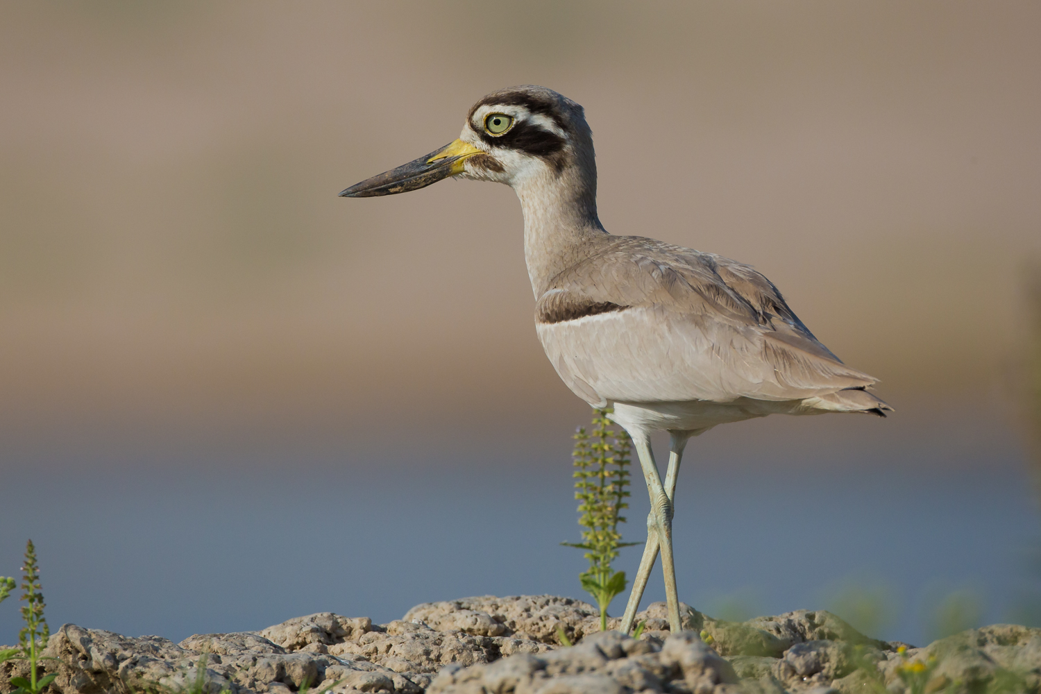 Great Thick-knee, curlew, birds of India, wildlife photography