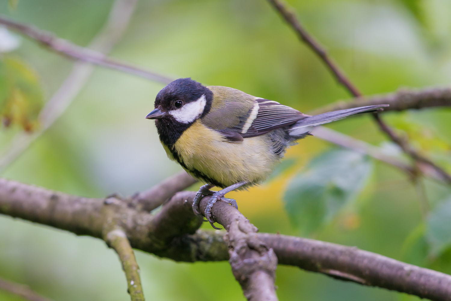 Great Tit, British birds, wildlife