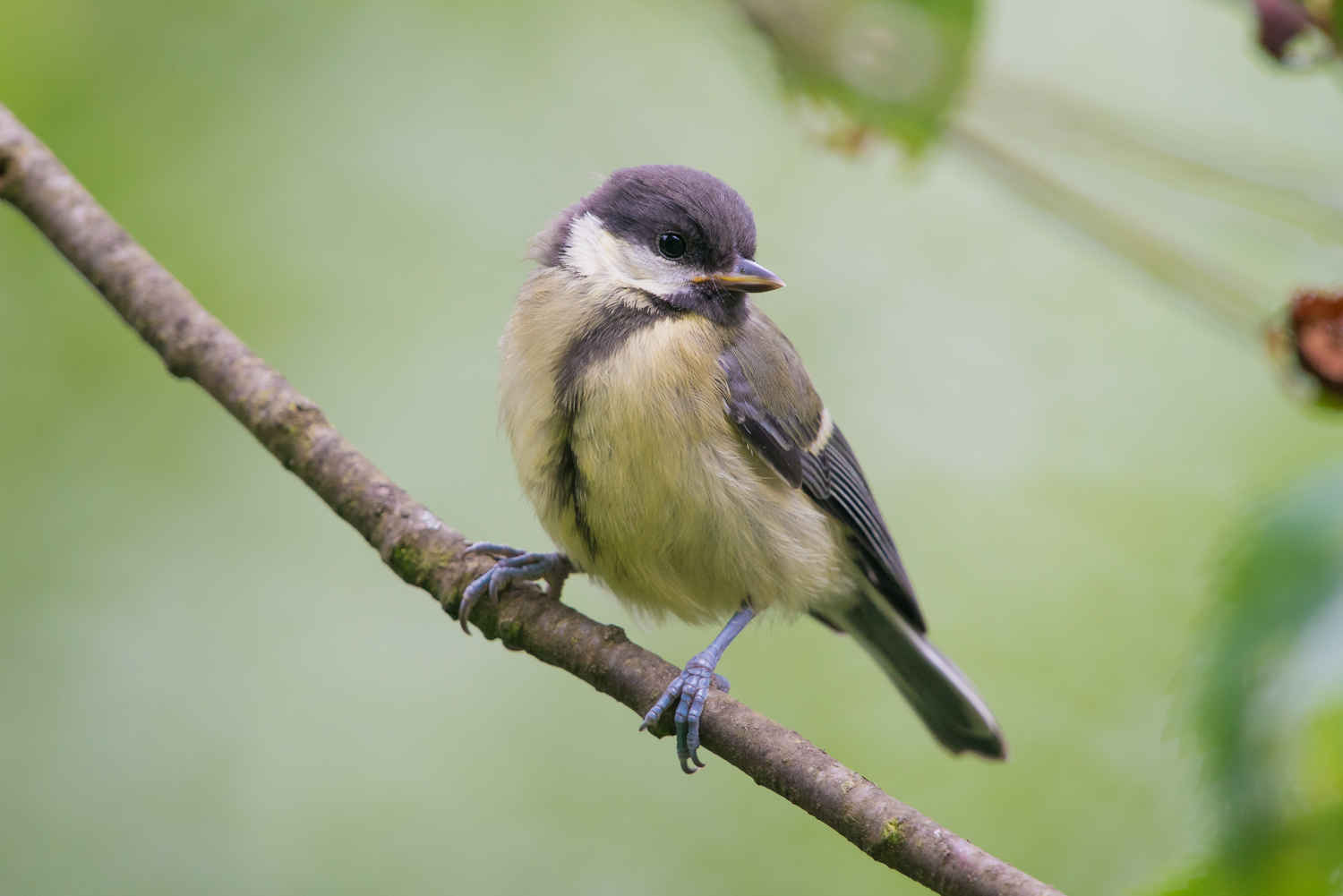 Great Tit, UK birds, wildlife