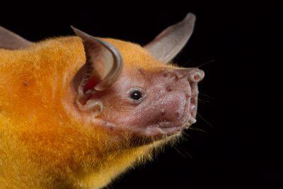 Greater Fishing Bat, Costa Rica wildlife, stock photos