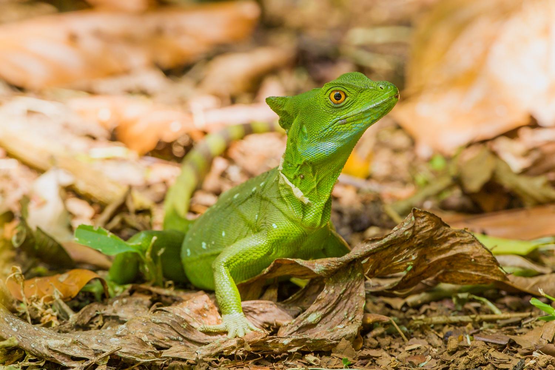 Green Basilisk, Costa Rica reptiles, stock photos