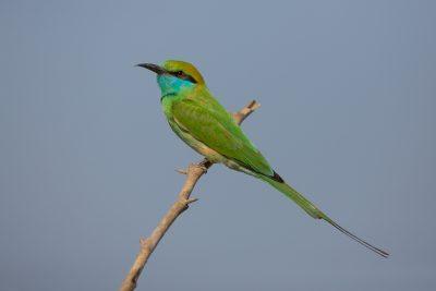 Green Bee-eater, birds of India, wildlife photography