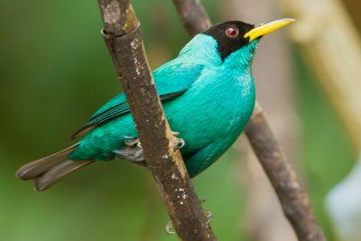 Green Honeycreeper, Costa Rica birds, wildlife, photos