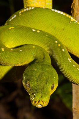 Green Python, Australian reptiles, wildlife