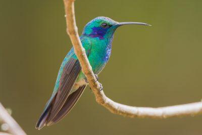 Green Violetear Hummingbird, Costa Rica birds, wildlife photos
