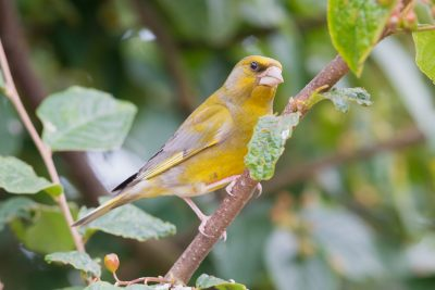 Greenfinch, UK Birds, wildlife