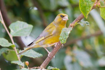 Greenfinch, UK Birds, wildlife