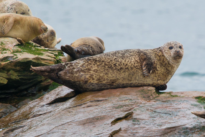 Grey Seal, UK wildlife, animals