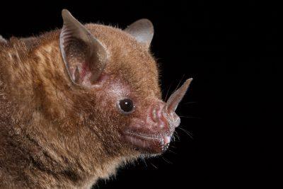 Grey Short-tailed Bat, Costa Rica wildlife, images, animal photos