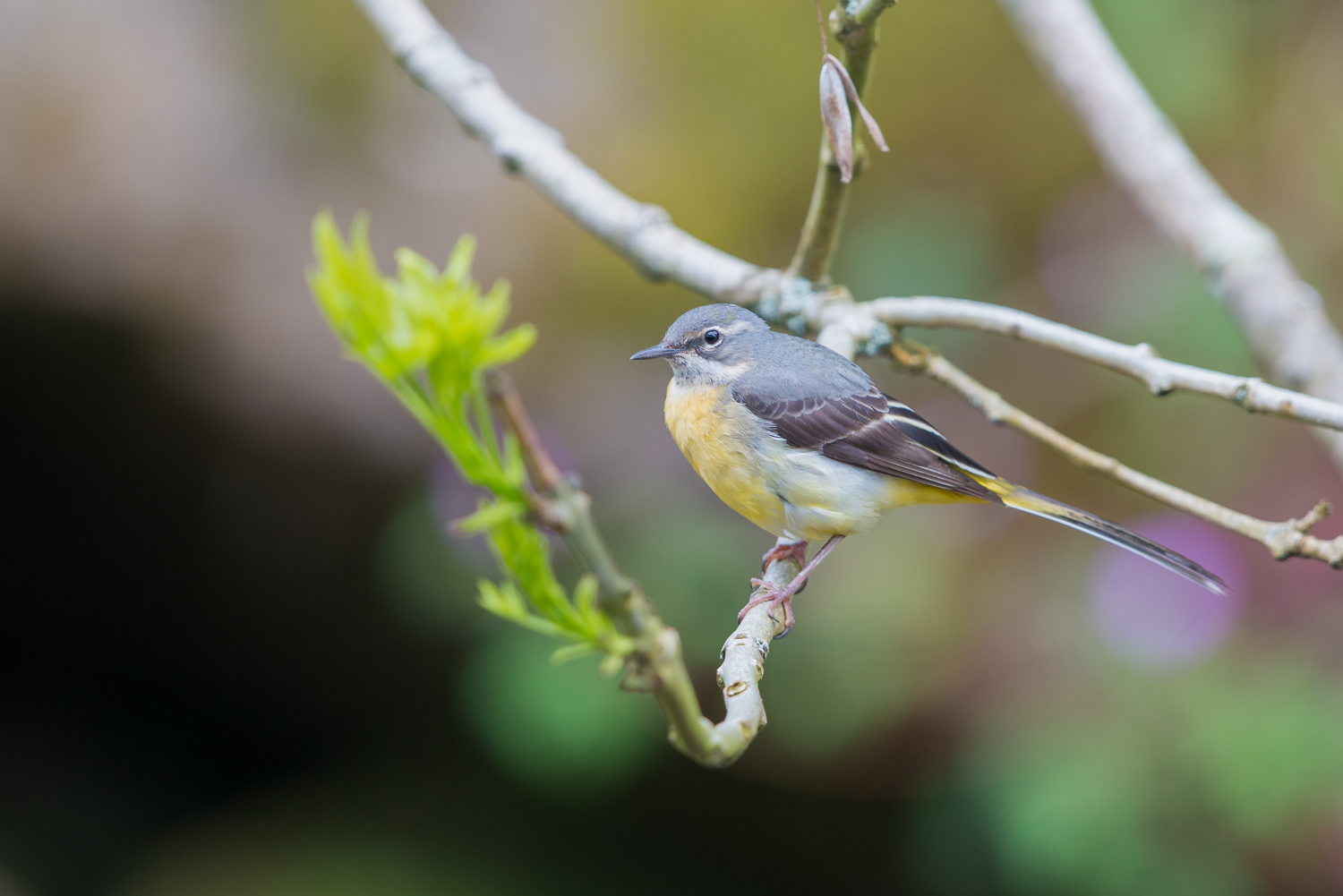 Grey Wagtail, UK birds, wildlife